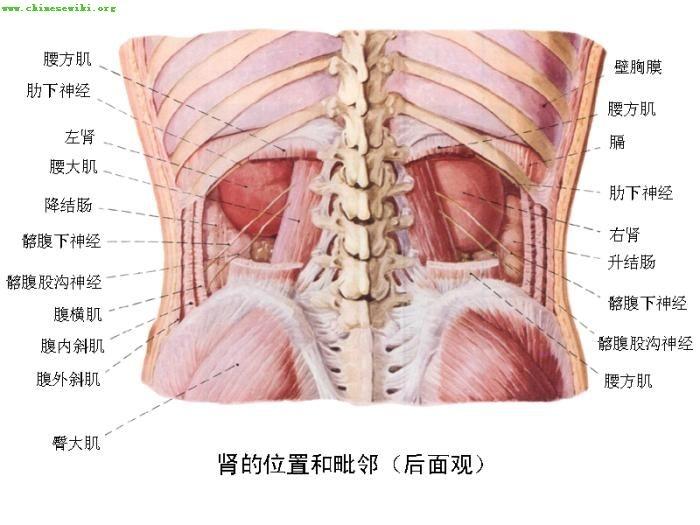 人体内脏囹�a�b!���9f�z_人体内脏图(6)