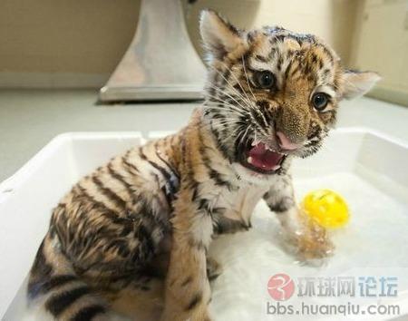 虽然才出生没多久,这只出生在匹兹堡大学的小老虎已经会露出虎牙了